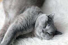 Giovane gatto sveglio che dorme sulla pelliccia bianca accogliente Lo Shorthair britannico fotografia stock libera da diritti