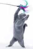 Giovane gatto sveglio che gioca con un giocattolo del bastone immagini stock
