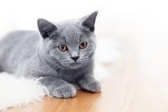 Giovane gatto sveglio che gioca sul pavimento di legno fotografia stock libera da diritti