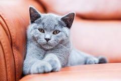 Giovane gatto sveglio che riposa sul sofà di cuoio Il gattino britannico di Shorthair con la pelliccia di gray blu fotografie stock