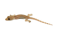 Giovane Gecko fotografie stock
