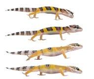Giovane gecko del leopardo - macularius di Eublepharis Fotografie Stock