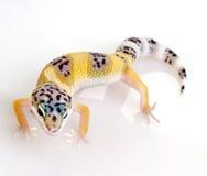 Giovane gecko del leopardo - macularius di Eublepharis Fotografie Stock Libere da Diritti