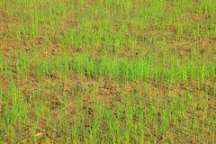 Giovane germoglio del riso Fotografia Stock Libera da Diritti