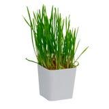 Giovane germoglio del riso che cresce in piccolo vaso di plastica sopra bianco Fotografia Stock
