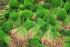 Giovane germoglio del riso del primo piano pronto alla crescita nel giacimento del riso: T Immagine Stock Libera da Diritti
