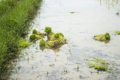 Giovane germoglio del riso pronto alla crescita Fotografie Stock Libere da Diritti
