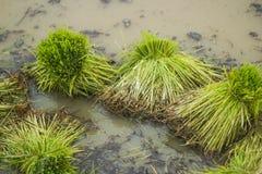 Giovane germoglio del riso pronto alla crescita Fotografia Stock Libera da Diritti