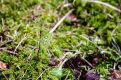 Giovane germoglio dell'albero dell'alberello dei pini in foresta Fotografia Stock Libera da Diritti