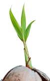 Giovane germoglio della noce di cocco isolato Fotografia Stock Libera da Diritti
