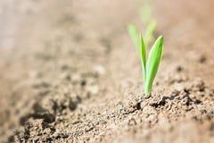 Giovane germoglio della pianta di cereale che cresce dalla terra Fotografia Stock Libera da Diritti