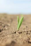 Giovane germoglio della pianta di cereale che cresce dalla terra Immagini Stock Libere da Diritti