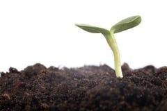 Giovane germoglio della pianta verde nel suolo Fotografia Stock Libera da Diritti