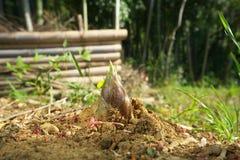 Giovane germoglio di bambù o germoglio del bambù Fotografia Stock