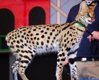 Giovane ghepardo Immagini Stock