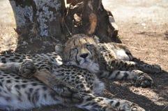 Giovane ghepardo sonnolento Fotografia Stock