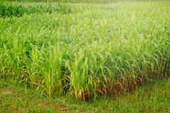 Giovane giacimento del mais, campo di grano alla luce di primo mattino Fotografia Stock