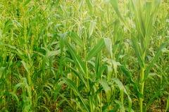 Giovane giacimento del mais, campo di grano alla luce di primo mattino Fotografie Stock Libere da Diritti