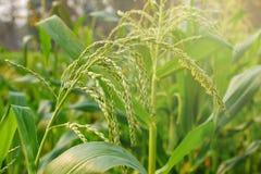 Giovane giacimento del mais, campo di grano alla luce di primo mattino Immagine Stock Libera da Diritti