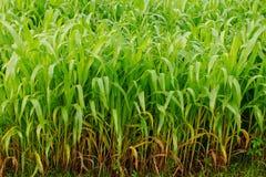 Giovane giacimento del mais, campo di grano alla luce di primo mattino Immagini Stock