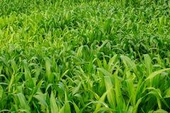 Giovane giacimento del mais, campo di grano alla luce di primo mattino Immagini Stock Libere da Diritti