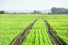 Giovane giacimento di grano su tempo di molla Immagine Stock Libera da Diritti