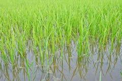 Giovane giacimento tailandese del riso Immagini Stock
