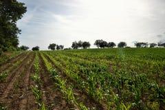 Giovane giacimento verde del mais Pianta di cereale crescente il giorno di estate soleggiato in campagna slovakia Immagine Stock