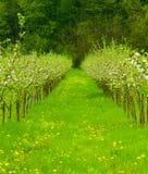 Giovane giardino della mela in fiore fotografie stock libere da diritti