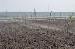 Giovane giardino della mela nella nebbia Fotografia Stock Libera da Diritti