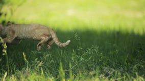 Giovane Ginger Devon Rex Kitten In Green Grass rosso divertente Cat Of English Breed dai capelli corti Movimento lento, Slo-Mo archivi video