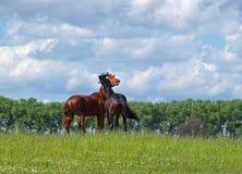 Giovane gioco degli stalloni Fotografia Stock Libera da Diritti