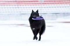 Giovane gioco del cane nero Immagine Stock Libera da Diritti
