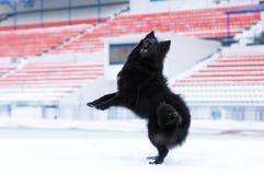 Giovane gioco del cane nero Fotografie Stock Libere da Diritti