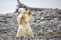 Giovane gioco dell'orso polare Immagini Stock Libere da Diritti
