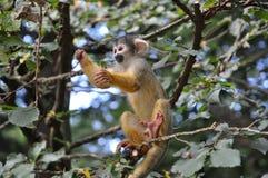 Giovane gioco della scimmia Fotografia Stock