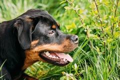 Giovane gioco nero del cucciolo di cane di Rottweiler Metzgerhund in erba verde immagini stock
