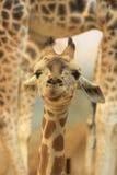 Giovane giraffa Immagini Stock