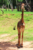 Giovane giraffa Fotografia Stock