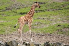 Giovane giraffa Fotografie Stock Libere da Diritti
