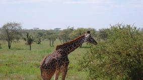 Giovane giraffa in cespugli con le spine che pasce le foglie nella savana africana selvaggia video d archivio