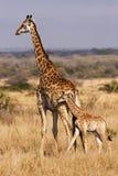 Giovane giraffa con la madre Immagini Stock Libere da Diritti