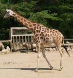 Giovane giraffa in GIARDINO ZOOLOGICO Fotografie Stock Libere da Diritti