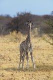 Giovane giraffa nella savana africana Fotografia Stock