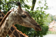 Giovane giraffa sveglia Fotografie Stock