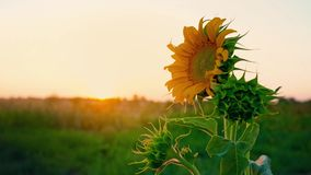 Giovane girasole solo che ondeggia nel vento nel campo contro il tramonto Cappello del girasole all'alba video d archivio