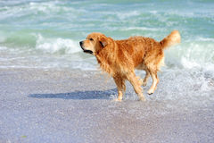Giovane golden retriever Fotografia Stock