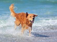 Giovane golden retriever Fotografie Stock