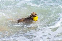 Giovane golden retriever fotografie stock libere da diritti