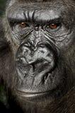 Giovane gorilla di Silverback Fotografia Stock Libera da Diritti